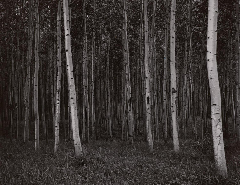 Untitled (birches)