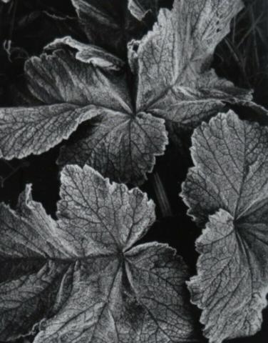 Untitled (leaves)