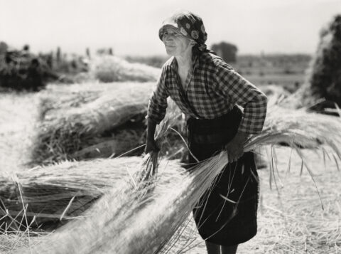 Woman gathering wheat